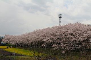 桜祭りとニーノ (38)